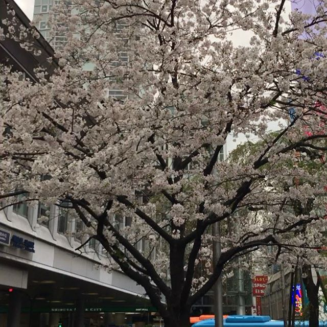 This week it is supposed to be warm around 15C and good for Sakura watching. I see many many tourists at #Hachiko