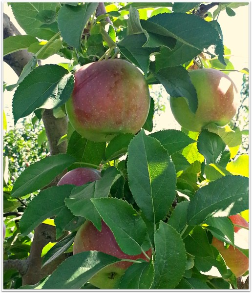 crockpot-applesauce-3
