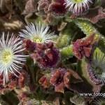 La barrilla (Mesembryanthemum crystallinum)