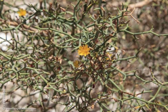 Aulaga (Launaea arborescens)