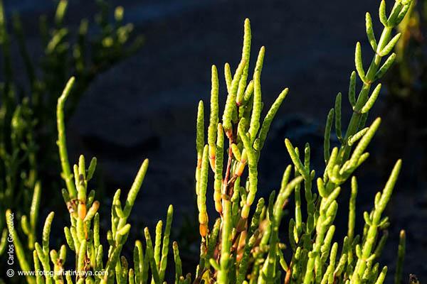 La Sarcocornia perennis – Salado de marisma