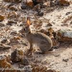 El Conejo silvestre