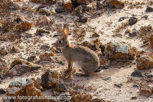 Conejo silvestre (Oryctolagus cuniculus)
