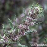 Hierba ratonera (Forsskaolea angustifolia)
