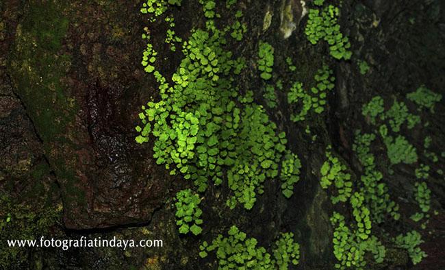 culantrillo de pozo (Adiantum capillus-veneris),
