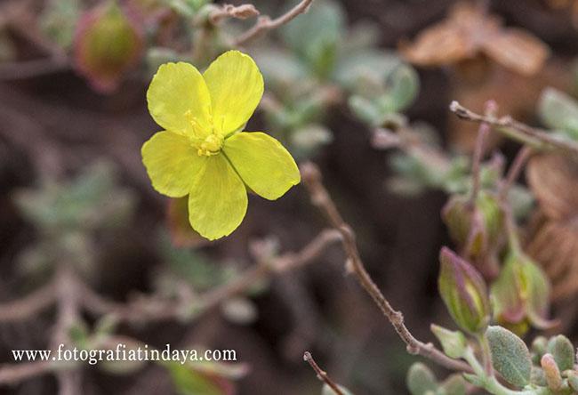 El Turmero (Helianthemum Canariensis)