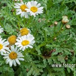 margarita de Winter (Argyranthemum winteri)
