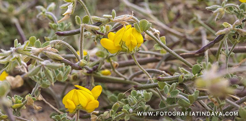 Corazoncillo de Lanzarote (Lotus lancerotensis Webb & Berthel)
