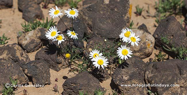 Aaronsohnia pubescens ssp. maroccana