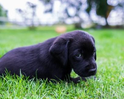 Labrador puppies-15