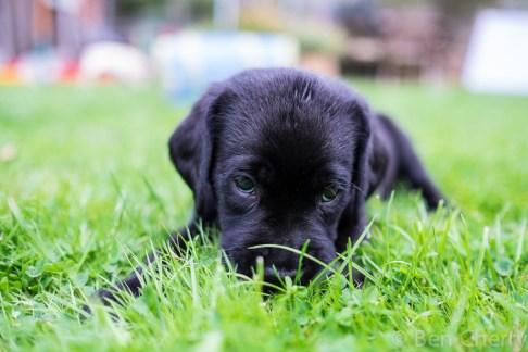 Labrador puppies-16