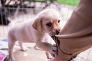 Labrador puppies-9