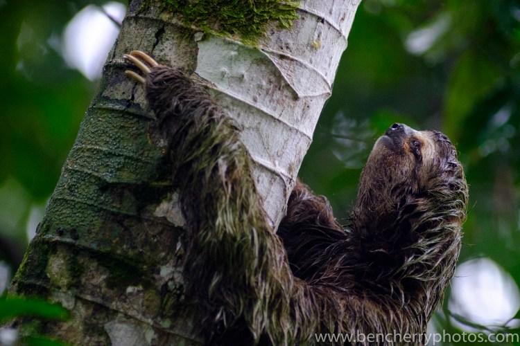 Sloth - Ben Cherry