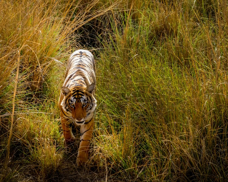 "A tiger emerging from the grass at Ranthambore National Park, Sawai Madhopur, India. The reserve was the private hunting reserve of the Jaipur Royal Family until 1955. The reserve is thought to have 43 adult tigers and 14 cubs although it is difficult to be certain as it is an ""open"" reserve which forms part of a larger ""tiger corridor"" in the region."