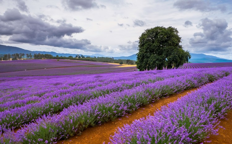 lavender-fields-northern-tasmania