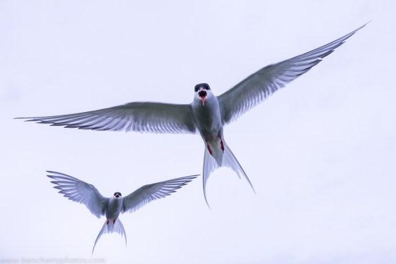 Mobbing terns