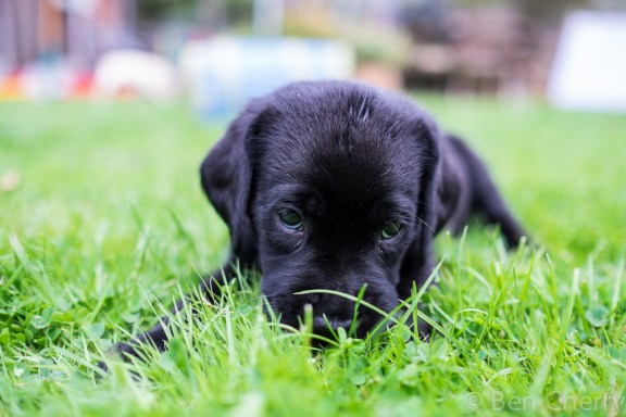 Labrador puppies-16