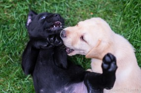 Labrador puppies-25