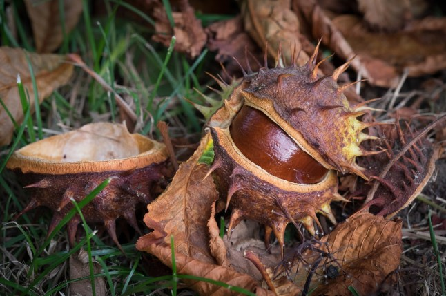 Bonkers about conkers. 1/210sec at f/5.6, ISO 800