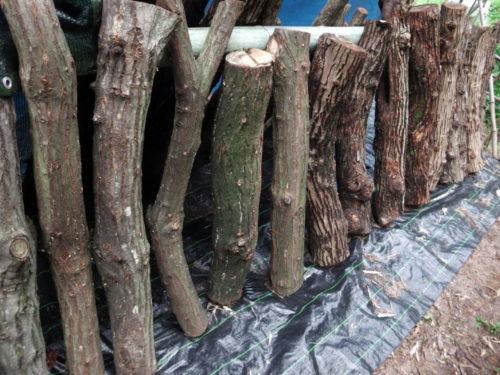カミキリムシによる榾木の食害