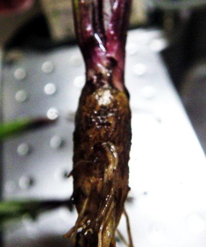 短かくふくらんだゴボウの根