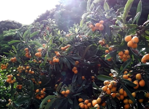 枇杷(Loquaat)の収穫