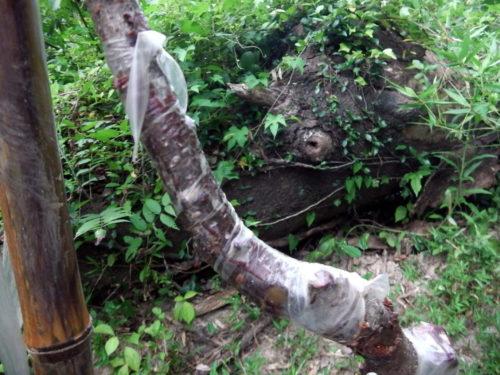 イノシシによって折られた枝