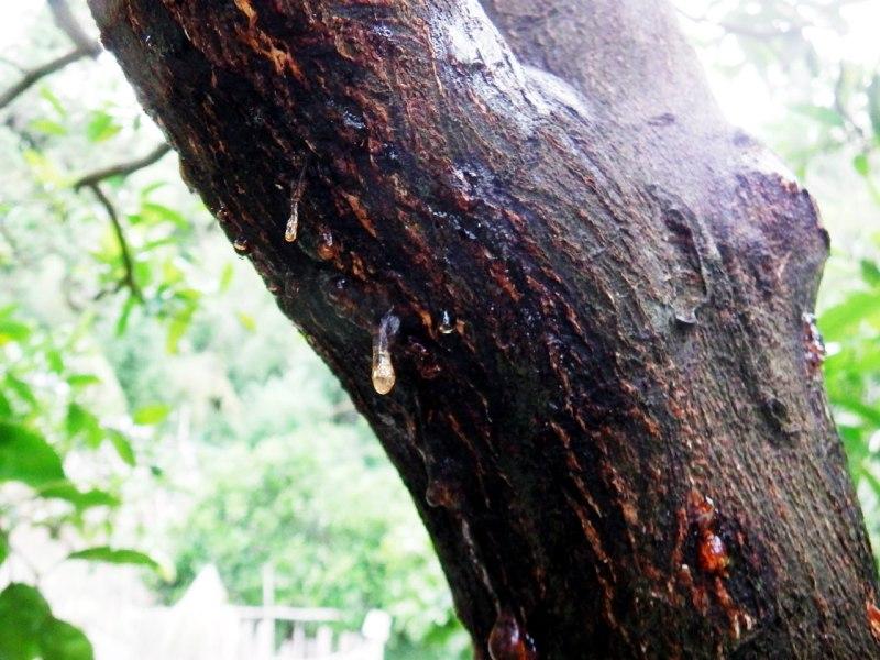 樹脂病(じゅしびょう)・・・温州ミカンの木から樹液が何か所も滲出!