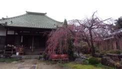 明星院の桜