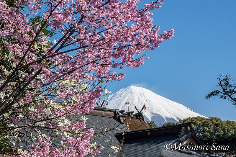 浅間大社の桜と富士山 3月25日