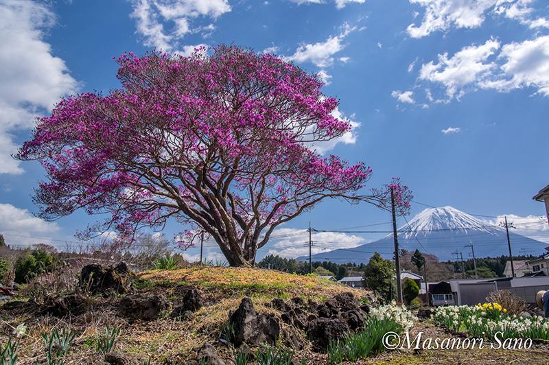 花と富士山 猪之頭ミツバツツジ