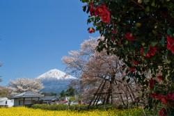 下馬桜と富士山
