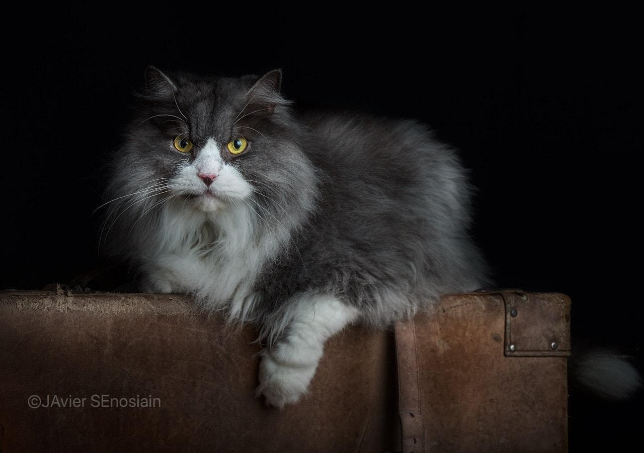 """""""Estudio de gato"""" por Javier Senosiain. Fujifilm X-T2 + XF 50-140mm F2.8."""