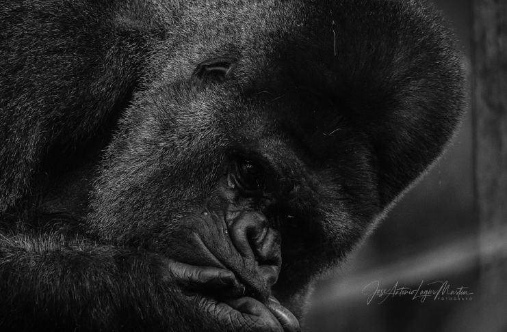 """""""Gorila"""" por Jose Antonio Lagier Martín. Fujifilm X-H1 + XF100-400mmF4.5-5.6 R LM OIS WR."""