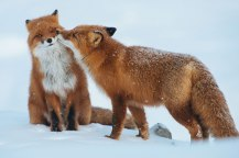 fox-photography-russian-miner-ivan-kislov-chukotka-11