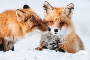 fox-photography-russian-miner-ivan-kislov-chukotka-131