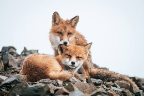 fox-photography-russian-miner-ivan-kislov-chukotka-151