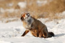 red_fox_shaking1__880 Roeselien Raimond