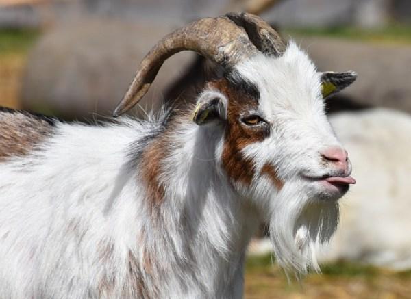 舌出しヤギ