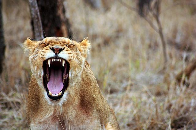 痛いライオン