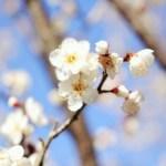 梅まつりを東京で楽しむなら湯島天神!梅の見頃とおすすめ和菓子