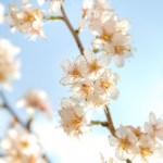 お花見で絶対に必要なものとあると便利なもの。持ち物チェックリスト