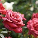 バラの名所関東のおすすめスポット5選!見頃の時期と色別の花言葉