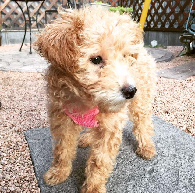愛犬 マルプー トイプードル