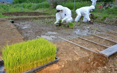 Rice-planting in protective clothing