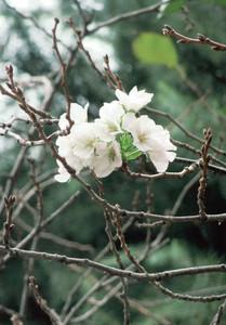 Un cerisier à fleurs fleurit à Tokyo : C'est pourtant toujours l'automne