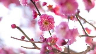 八女市「谷川梅林」約3万本の梅が咲くおすすめスポット