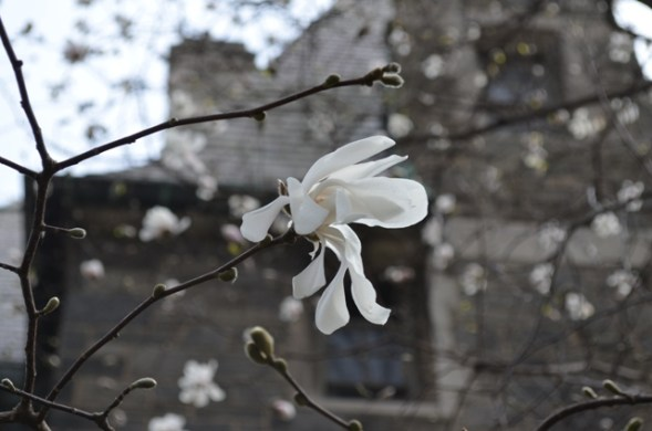 White Spring Flower on Upper West Side