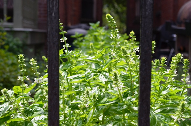 Basil Plants in Harlem