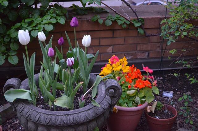 Tulips 1